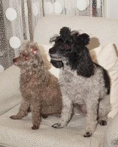 Blomqvistin koirat Toy (vas.) ja Choco ottavat vieraat vastaan ja huolehtivat henkilökunnasta rapsutuspalkalla.