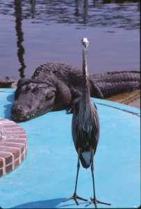 Floridassa asuessaan Helekoski kävi alligaattorifarmilla.